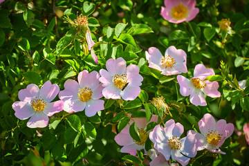 The Rosa canina bush