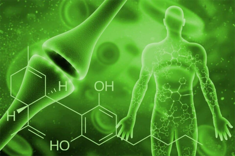 CBD and the Endocannabinoid system of the body